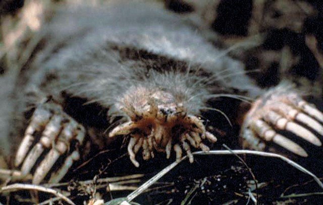 Star-nosed mole - COURTESY OF US NATIONAL PARKS SERVICE