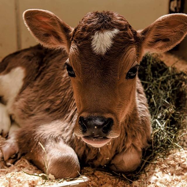 Baby calf - COURTESY OF BILLINGS FARM & MUSEUM