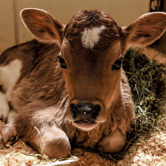 Baby calf - COURTESY OF BILLINGS FARM & MUSEUM