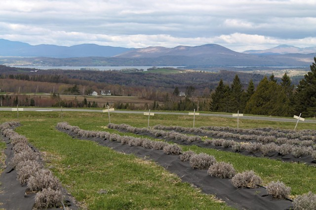 View from Lavender Essentials of Vermont - JULIA SHIPLEY