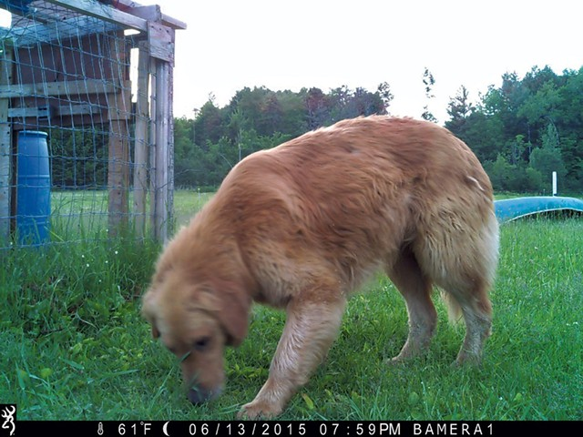 A recent game camera image of Murphy - COURTESY OF WILSON RING
