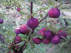 Black ice plums at Elmore Roots Nursery - COURTESY OF ELMORE ROOTS NURSERY