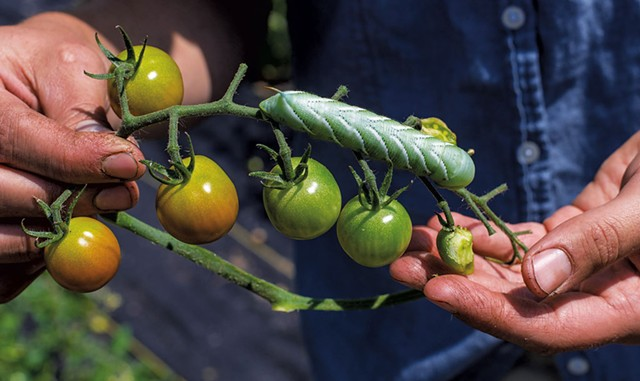 A hornworm on a tomato plant at Arbor Farmstead - GLENN RUSSELL