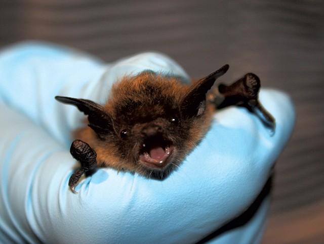 U.S. Fish & Wildlife Service biologist holding a little brown bat - U.S. FISH & WILDLIFE SERVICE/ ANN FROSCHAUER