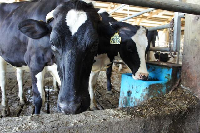 Veldma the cow at Nea-Tocht Farm - STACEY BRANDT