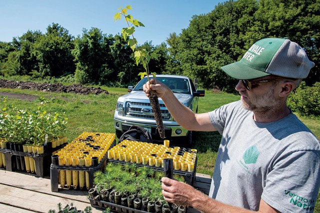 Mike Ingalls examining the roots of a silver maple seedling ready for planting - GLENN RUSSELL