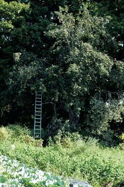 Apple tree - HANNAH PALMER EGAN