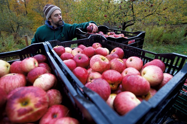 Teddy Weber with his apple harvest for Tin Hat Cider at an orchard in Waitsfield - JEB WALLACE-BRODEUR