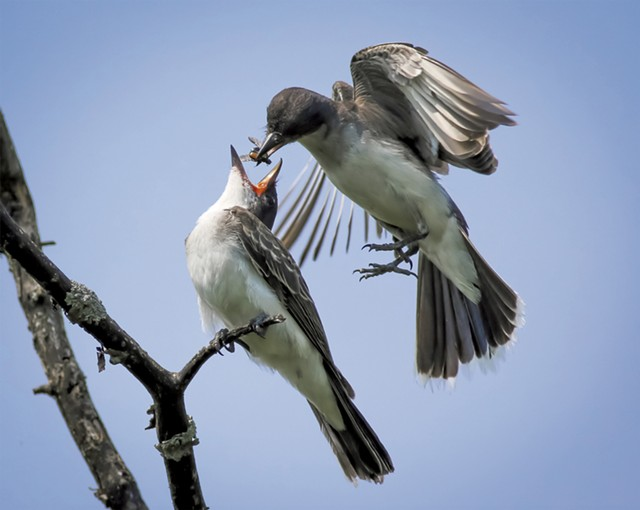 Eastern kingbird feeding a Japanese beetle to its fledgling at Colchester Pond - PETER RILEY