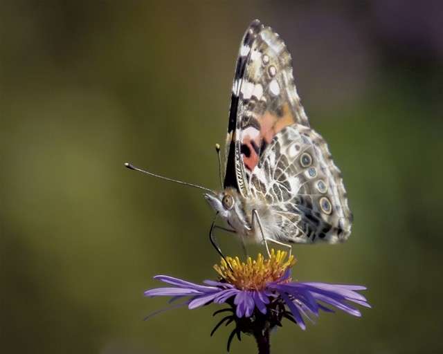 A painted lady at Colchester Pond - PETER RILEY