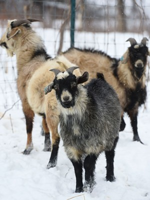 Kiko goats at Marble Hill Farm - JEB WALLACE-BRODEUR