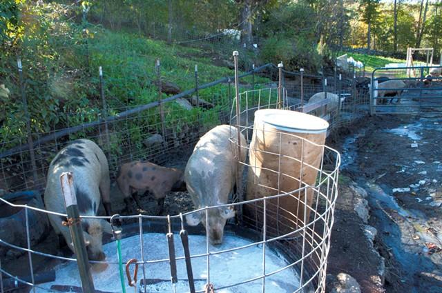 Pigs drinking whey from Vermont Creamery - HANNAH PALMER EGAN