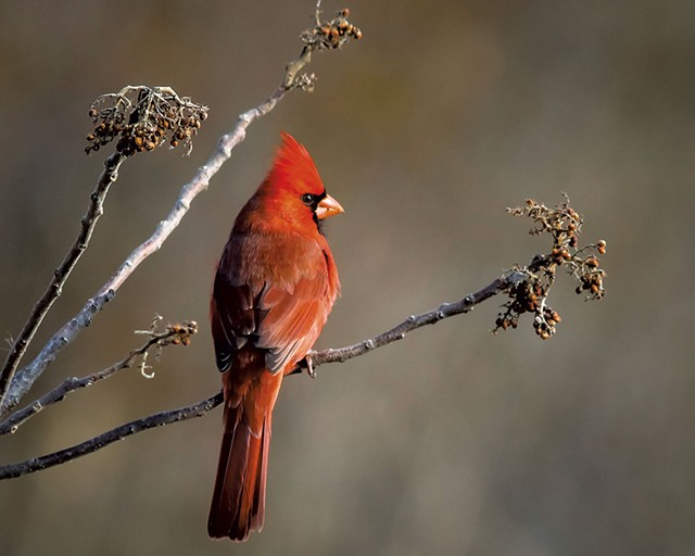 Cardinal - COURTESY OF PETER RILEY