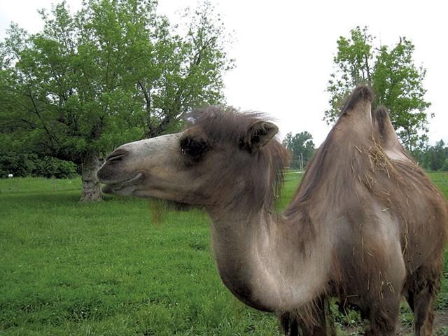 Oliver the camel - FILE PHOTO