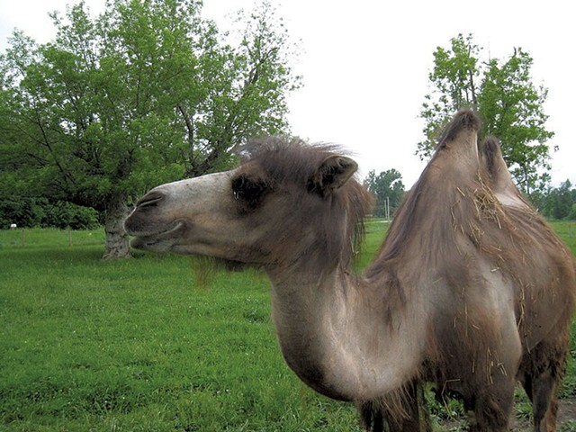 Oliver the camel - FILE PHOTO