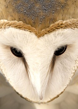 """Barn Owl Face"" by Jennifer MaHarry"