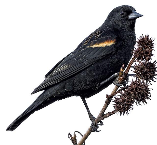 Red-winged blackbird - © DREAMSTIME/MARK HRYCIW