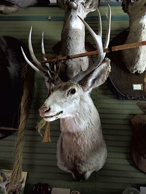 Deer head at Main Street Museum - PAMELA POLSTON ©️ SEVEN DAYS