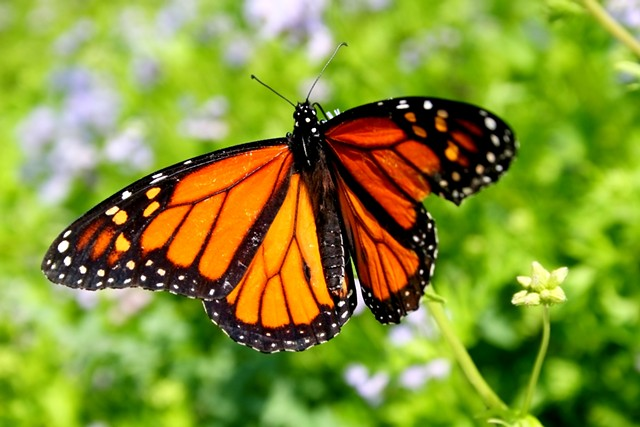 A monarch butterfly - ©JOELFISHER | DREAMSTIME.COM