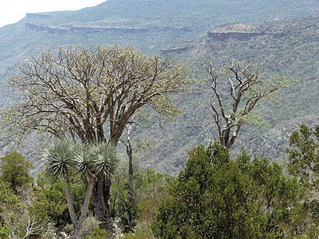 Boswellia trees in Somaliland - COURTESY OF BÖSWELLNESS