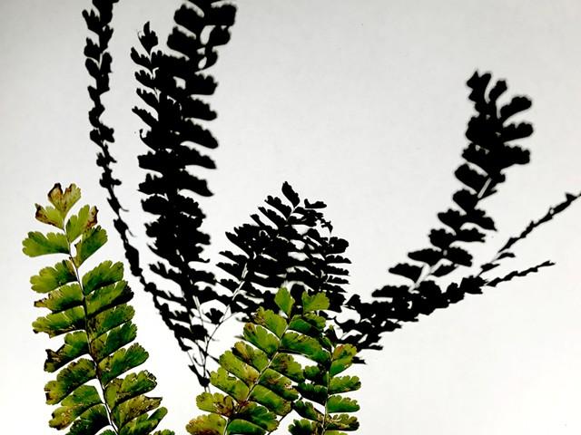 Maidenhair fern shadow - COURTESY OF ELIZABETH BILLINGS