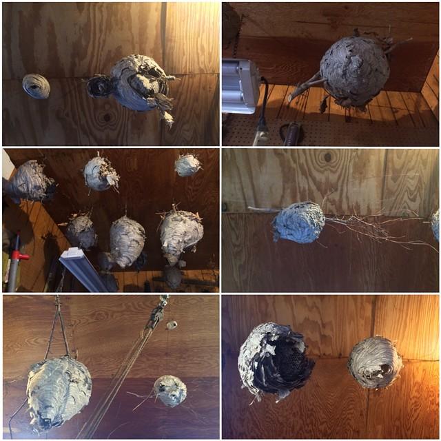 Doty's hornets' nests - RACHEL JONES