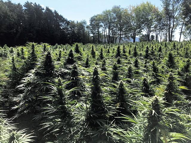 A field of hemp plants - MATT LEONETTI