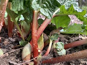 Rhubarb emerging in April - MELISSA PASANEN ©️ SEVEN DAYS