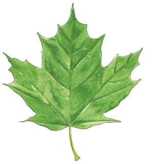 Sugar Maple, Acer saccharum -  - JEANIE WILLIAMS