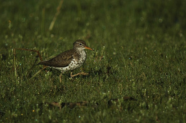 Spotted sandpiper - COURTESY OF SPENCER HARDY