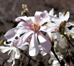 Magnolia - CALEB KENNA