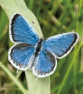 Eastern tailed blue butterfly at Ferrisburgh solar farm - COURTESY OF MIKE KIERNAN