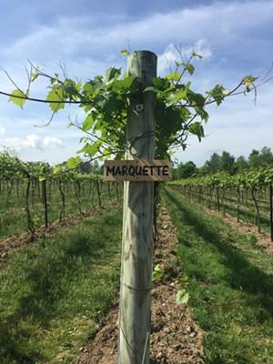 Marquette vines at Shelburne Vineyard - JORDAN BARRY ©️ SEVEN DAYS