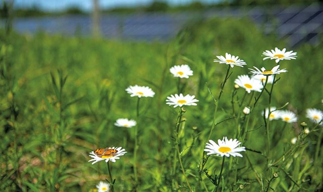 A pearl crescent butterfly on flowers that Bee the Change planted in a Hinesburg solar field - DARIA BISHOP