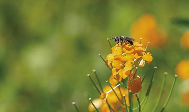 A sweat bee - DARIA BISHOP