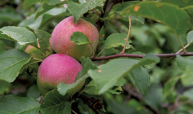 Apples ripening at Owl's Head Orchard - JEB WALLACE-BRODEUR