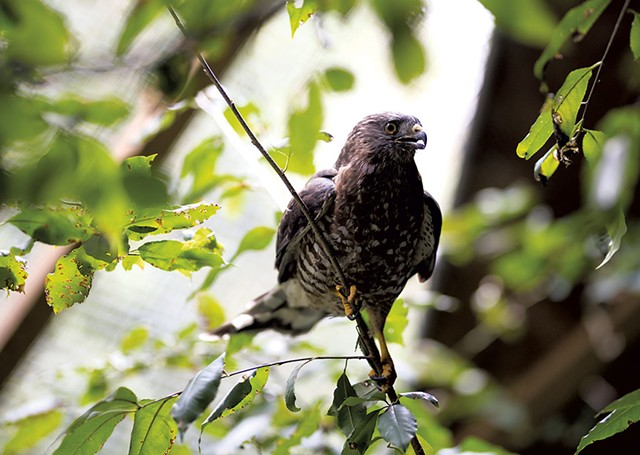 A hawk in John Aberth's care - BEN DEFLORIO