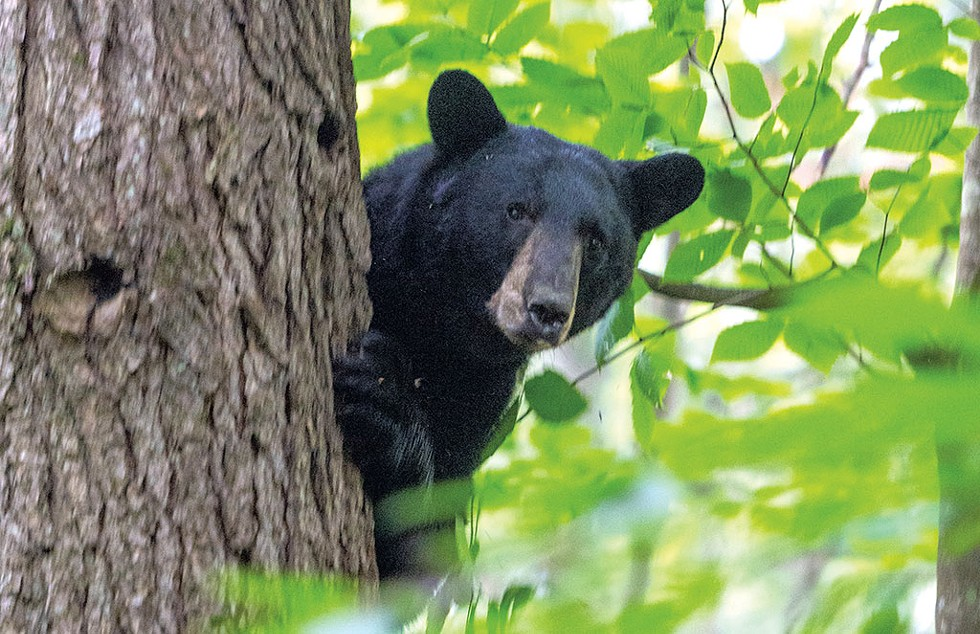 A treed bear - JEB WALLACE-BRODEUR