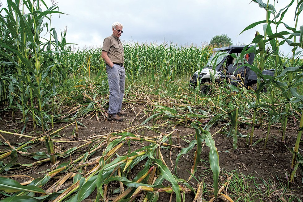 Corn grower Les Morrison checking on bear damage in his Peacham fields - JEB WALLACE-BRODEUR