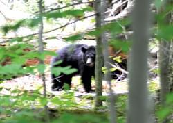 Black bear - SASHA GOLDSTEIN