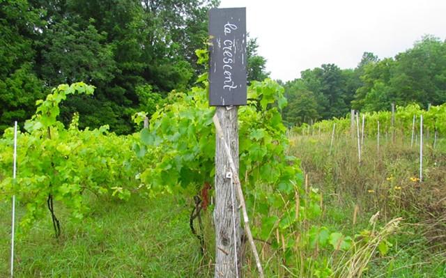 Vines of La Crescent grapes at La Garagista Farm and Winery - JULIA CLANCY