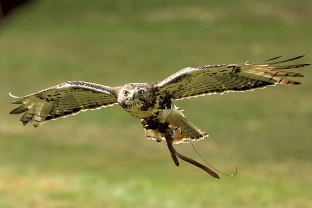 Ollie the red-tailed hawk - OLIVER PARINI