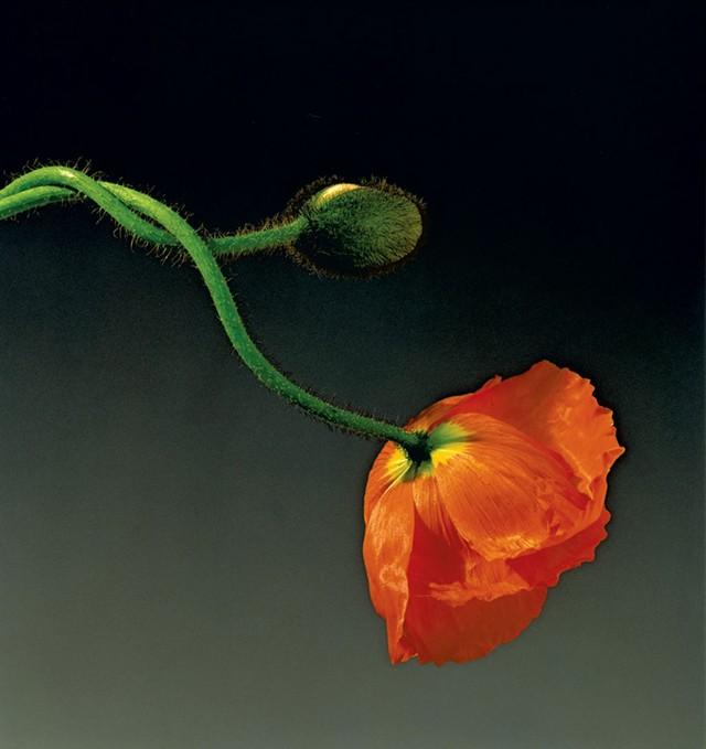 """""""Poppy,"""" 1988"""