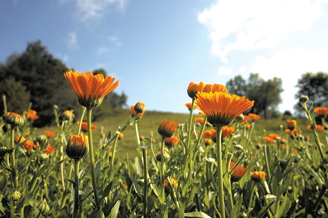 Calendula - COURTESY OF MISHA M. JOHNSON