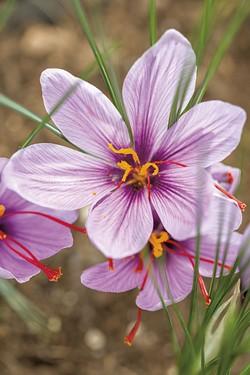 Saffron - OLIVER PARINI