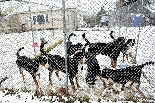 Greater Swiss Mountain Dogs - PHOTOS: KATHLEEN PORTER