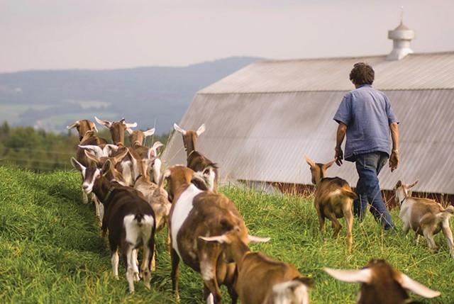Goats at Vermont Creamery - COURTESY OF VERMONT CREAMERY: TIM CALABRO