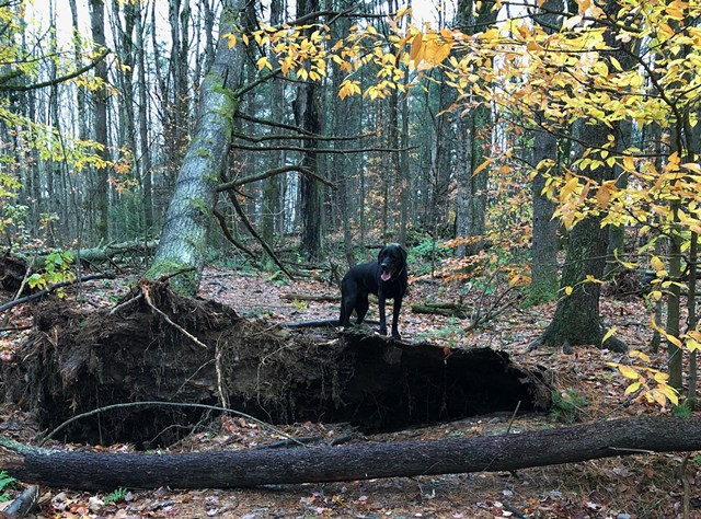 A dog walking in storm-damaged Indian Brook Park in Essex - COURTESY: LAURA ABBENE