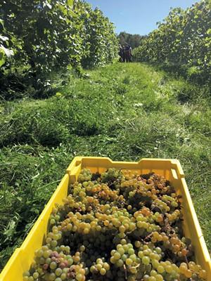 La crescent grapes - MELISSA PASANEN