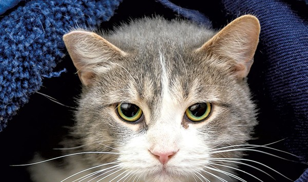 Vermont Animal Shelters Work to 'Catten the Curve'